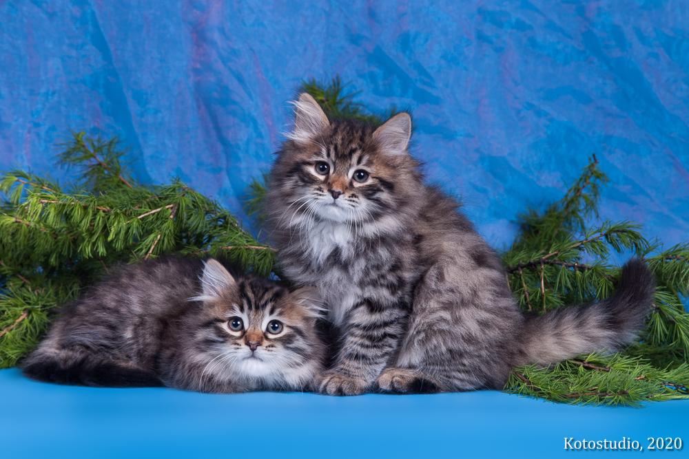 Продаются котята помет Р. Ратибор и Рита